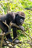 Captive immature Western Lowland Gorilla (Gorilla gorilla gorilla) climbing tree, Bristol UK. August 2019.