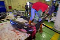 Cleaning the fish. Sword fish (Xiphias gladius). Fishing port of Vigo. Eastern Atlantic. Galicia. Spain. Europe.