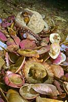 Common octopus in his den. (Octopus vulgaris). Eastern Atlantic. Galicia. Spain. Europe.