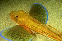 Sea Robin, Tub gurnard, Saphirine gurnard (Chelidonichthys lucerna). Eastern Atlantic. Galicia. Spain. Europe.