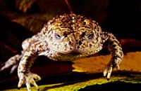 Nurse frog. Common midwife toad (Alytes obstetricans). Sierra do Suido. Galicia. Spain. Europe.