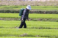 CHINA Peasants spraying fertilized on rice during harvest time in Yunnan province. Photo by Julio Etchart.
