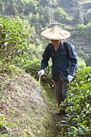 CHINA Peasants spraying fertilized on tea plants during harvest time in Yunnan province. Photo by Julio Etchart.