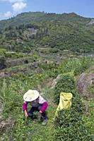 CHINA Peasants picking tea leaves during harvest time in Fujian province. Photo by Julio Etchart.