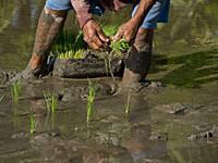 Rice farmer planting new crop in the highlands in Bali, Indonesia.