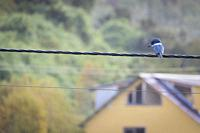 Ringed Kingfisher (Megaceryle torquata) perched on wire under a light rain. Chiloé. Los Lagos Region. Chile.