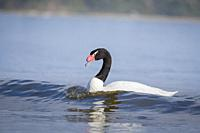 Black-necked Swan (Cygnus melancoryphus) on water. Chiloé. Los Lagos Region. Chile.