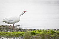 Coscoroba Swan (Coscoroba coscoroba) looking for food on shore. Chiloé. Los Lagos Region. Chile.