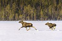 Two moose, Alces alces, running over a filed, adult and a calf, in winter season, Norrbotten province, Sweden.