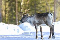 Reindeer, Rangifer tarandus, in forest at winter season, looking to the camera, Norrbotten province, Sweden.