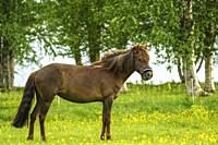 Icelandic horse on a meadow eating grass, Swedish Lapland, Sweden.