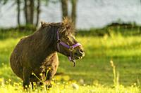 Shetland pony on a meadow eating grass and plenty of flowers on the meadow, Swedish Lapland, Sweden.