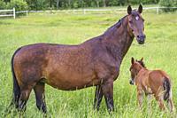 Swedish warmblood horse with foal on a meadow, Norrbotten province, Sweden.