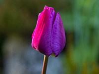 Side profile of purple tulip with petals closed.