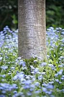 Base of Cherry tree trunk with moss growth surrounded by foliage and blue forget-me-not (Myosotis) flowers.