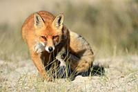 Red Fox ( Vulpes vulpes ), shifty eyes, eye contact, coming closer, stalking, sneaking, walking towards the camera, hunting, frontal view, wildlife, E...