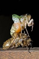 Cicada (Cicadidae Family) emerging from moulted exoskeleton during ecdysis, Klungkung, Bali, Indonesia.