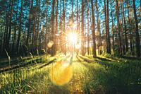 Beautiful Sunset Sunrise Sun Sunshine In Sunny Summer Coniferous Forest. Sunlight Sunbeams Through Woods In Greenwood Forest Landscape.