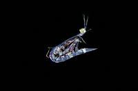 Mantis Shrimp (Lysiosquillina sp) larva floating in water column, Blackwater night dive, Seraya, Karangasem, Bali, Indonesia, Indian Ocean.