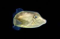 Juvenile Filefish (Monacanthidae Family) floating in water column, Blackwater night dive, Seraya, Karangasem, Bali, Indonesia, Indian Ocean.