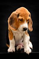 Beagle Puppy Dog Isolated On Black Background in Studio.