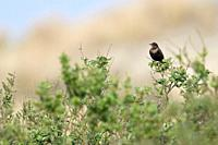 Common Blackbird / Amsel ( Turdus merula ), brown female on distance, perched on top of some bushes in the dunes, watching, wildlife, Europe. .