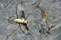 Bearded Vulture / Lammergeier ( Gypaetus barbatus ), Ossifrage, in flight, flying, gliding in front of a steep mountain cliff, Swiss alps, wildlife.