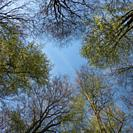 Tree tops in Spring, a look in the blue sky, Beech trees in spring, Germany, Europe.