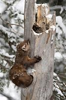 American Pine Marten / Baummarder / Fichtenmarder ( Martes americana ) in winter while snowfall, climbing out of a hole in a rotten tree stump, Yellow...