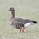 White-fronted Goose / Blaessgans ( Anser albifrons ) in winter, snowfall, walking over grassland, single bird, wildlife, Europe.