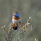 Bluethroat / Blaukehlchen ( Luscinia svecica ) adult white spotted male, perched on seabuckthorn, watching, territorial behavior, wildlife, Europe. .