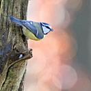 Bluetit / Blaumeise ( Cyanistes caeruleus ), perched at a tree trunk, watching around attentively, backside view, wildlife, Europe.