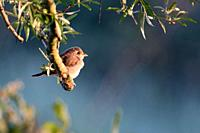 Red-backed Shrike ( Lanius collurio ), just fledged chick, perched on a branch of a willow, sitting in a tree, early in the morning, first sunlight, w...