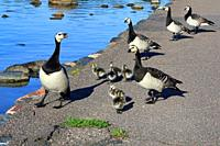 Adult Barnacle geese, Branta leucopsis, leading young fuzzy goslings along path to jump into the sea in early summer. Helsinki, Finland.
