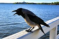 Hooded Crow, Corvus cornix, cawing on the wooden railing of the seafront pier. Shallow dof, focus on bird.