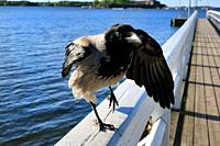 Hooded crow, Corvus cornix, standing on one feet on the railing of wooden pier. For birds, standing on one feet helps regulate body temperature.