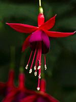 Close up flowering red and magenta fuschia flower hanging from a cluster of flowers.