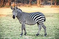 Zebra out in the wild in Zambia, Africa.