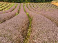 Lacontal Lavender Farm, near Touffailles, Tarn-et-Garonne Department, Occitanie, France.