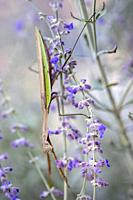 Praying mantis (Tenodera species) - North Carolina Arboretum, Asheville, North Carolina, USA.