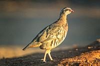 Red partridge walking in the field.