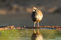 Red partridge drinking from a pond.