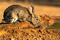 Country rabbit drinking at a watering hole.