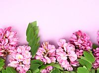 flowering branch Robinia neomexicana with pink flowers on a purple background, top view, copy space.