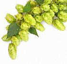 Closeup Heap Of Fresh Green Hops.