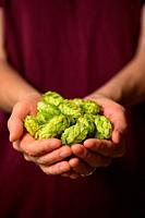 Closeup Hands and Heap Fresh Green Hops.