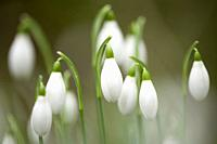 A close-up of Common Snowdrops (Galanthus nivalis) in flower in an English woodland in winter.