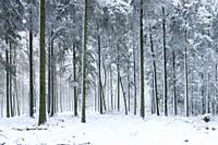 Fresh winter snowfall in a pine forest at Rowberrow Warren in the Mendip Hills Area of Outstanding Natural Beauty, Somerset, England.
