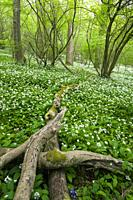 A carpet of Wild Garlic (Allium ursinum) or Ramson flowers during spring in Kingâ. . s Wood in the Mendip Hills near Axbridge, Somerset, England.