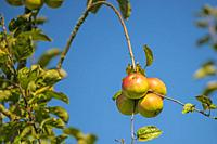 apples on a bent branch in warm morning sun.
